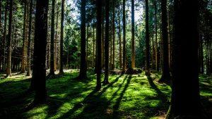 Lichtung in einem Fichtenwald, der Boden ist mit grünem Moos bedeckt.