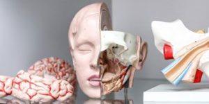 Lehrmittel: anatomisches Modell eines Kopfes (Gehirn).